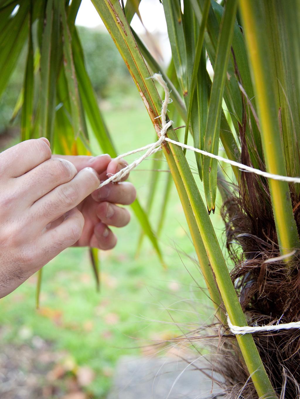 Protéger un palmier avec une canisse