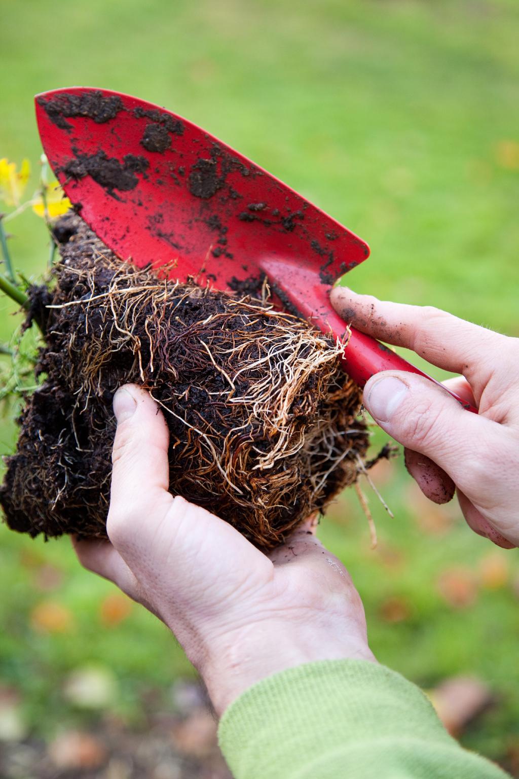 Planter un rosier en conteneur