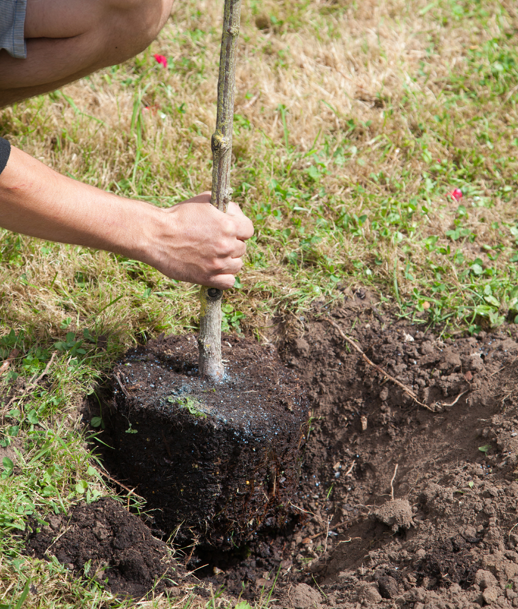 Planter un rosier tige entouré de lavande