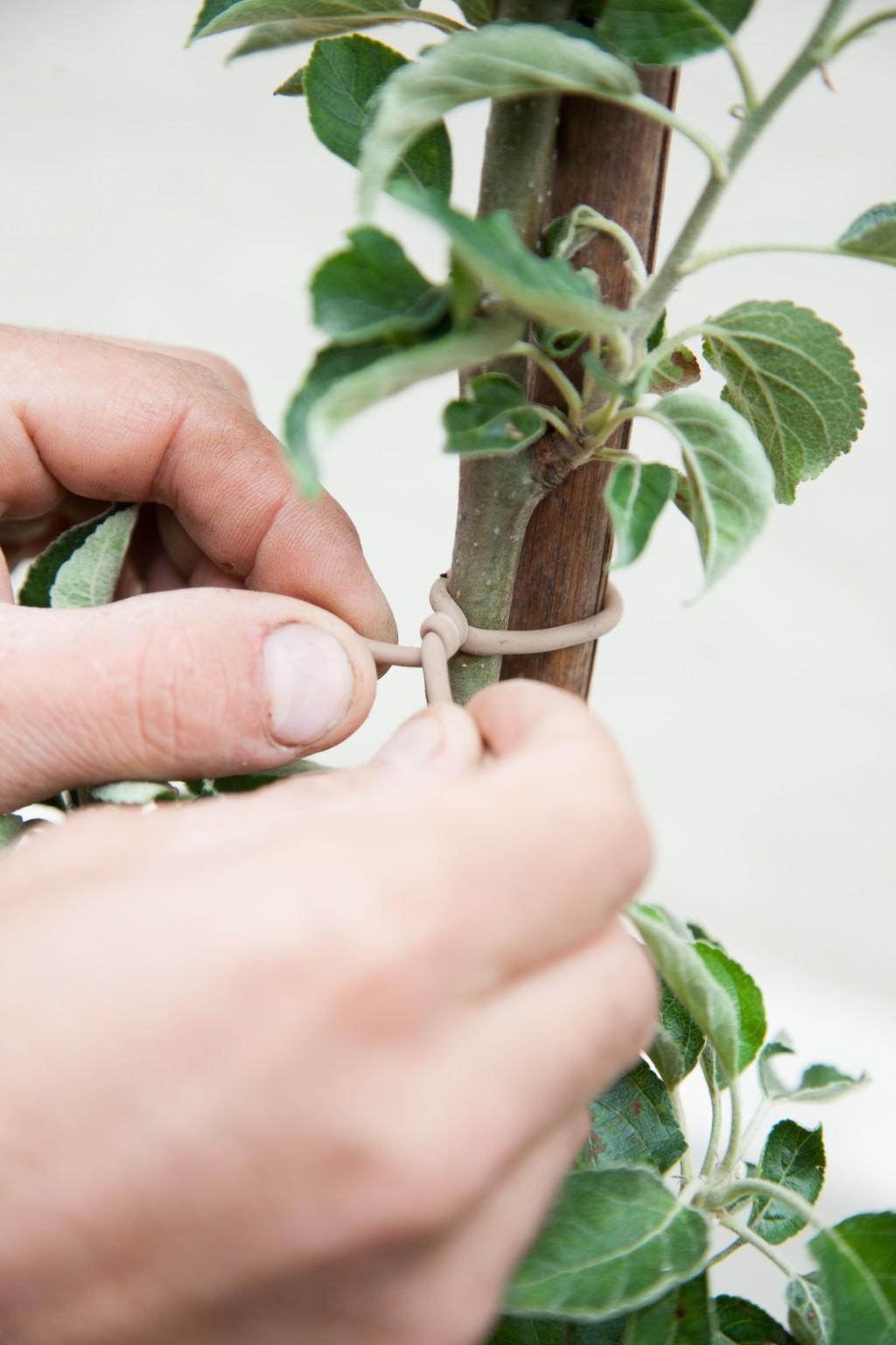 Planter un pommier